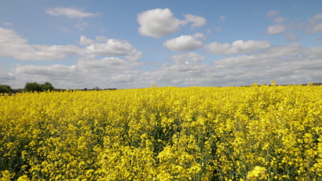 yellow oilseed rape plants - colza video stock e b–roll