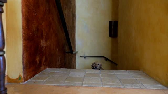 Yellow or golden labrador retreiver dog walking up stairs