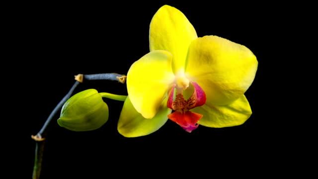 gelbe orchidee zeitraffer - orchidee stock-videos und b-roll-filmmaterial