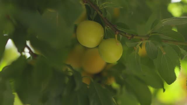 Yellow plum on tree Yellow plum on tree plum stock videos & royalty-free footage