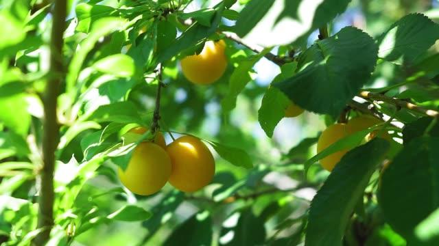 vídeos de stock e filmes b-roll de yellow plums on a tree branch in the garden. growing ecological fruits, natural summer garden - damasco fruta