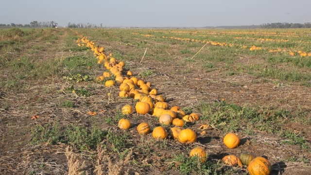 yellow pumpkins are on the field. - zucca legenaria video stock e b–roll