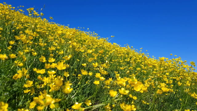 Yellow Ranunculus acris on the Spring Sunny Lawn. Beautiful Blue Sky Holiday background video