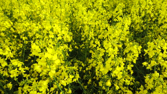 Yellow rape flower field at sunny day. video
