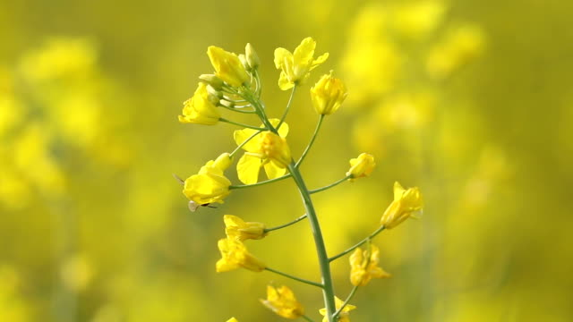 yellow rape flowers with macro lens, honey bee collecting pollen for honey, selective focus - colza video stock e b–roll