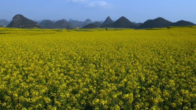 campo di colza giallo fiori in luoping, cina - colza video stock e b–roll