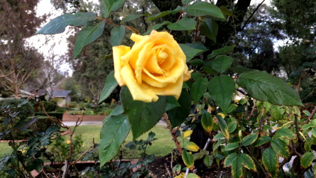 Yellow Rose After Rain video
