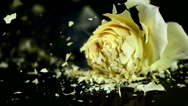 SLO MO Yellow rose blossom shattering on black surface video