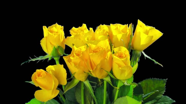 Yellow roses die, time-lapse with alpha channel