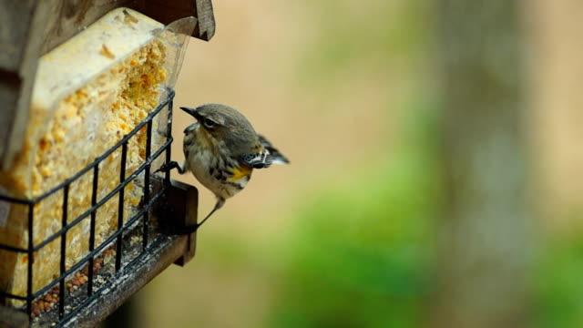 Yellow- Rumperd Warbler video