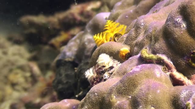 Yellow sea worms in coral in ocean of wildlife Philippines.