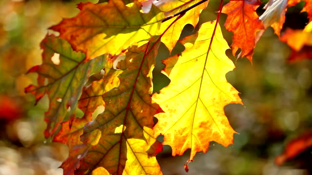 Yellow sheet of an oak in the autumn, located vertically video
