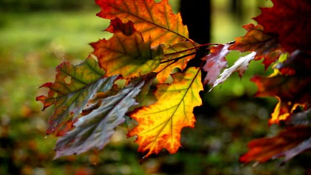 Yellow sheet of an oak in the autumn video