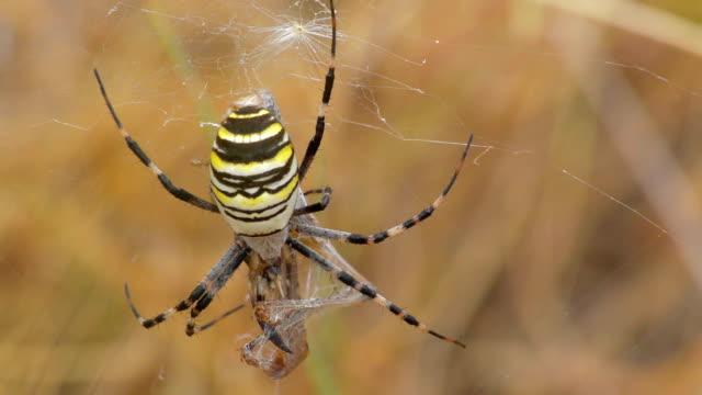 gelbe spider aurantia bruennichi und beute - grashüpfer stock-videos und b-roll-filmmaterial