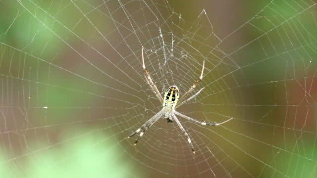 Yellow spider aurantia bruennichi in web