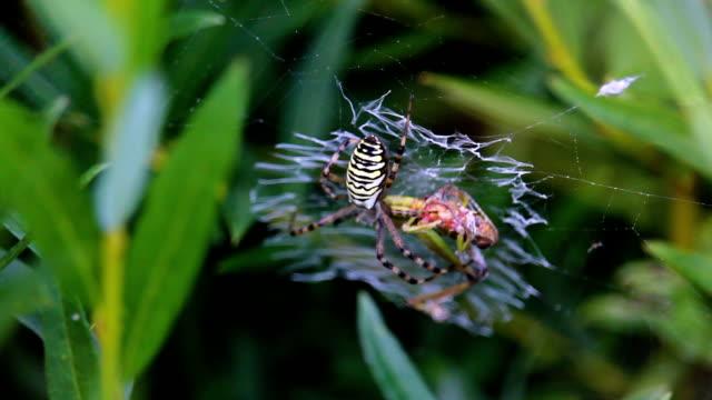 Yellow spider catch grasshopper on web