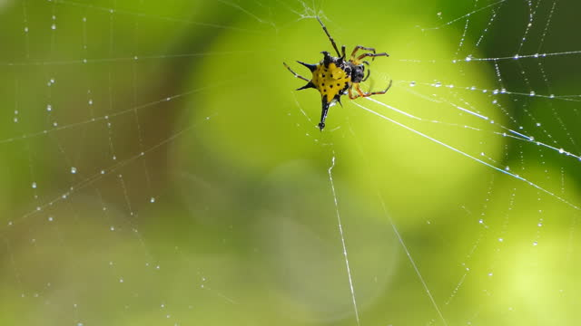 Yellow Spiny Orb-Weaver Spiders on cobweb in tropical rain forest video