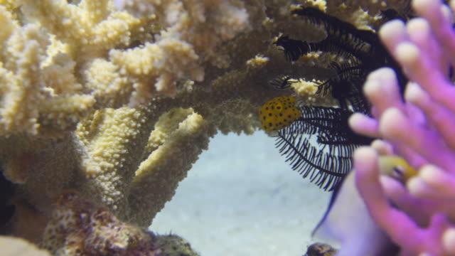 Yellow Spotted Boxfish video