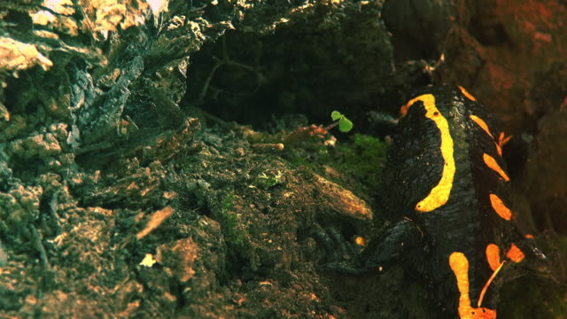 Yellow spotted salamander in the wild forest