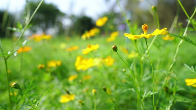 yellow spring flower - lilia filmów i materiałów b-roll