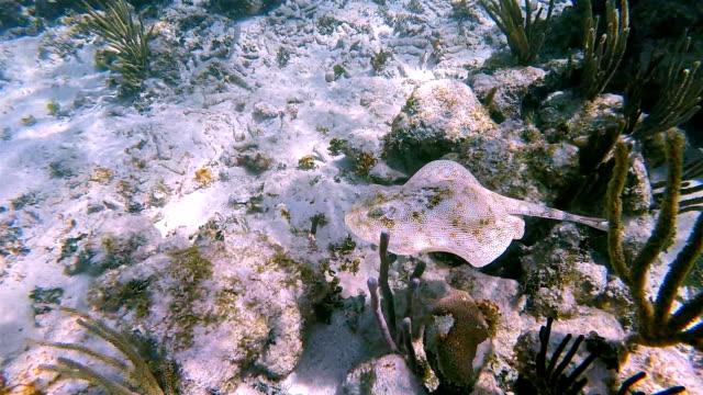 vídeos de stock e filmes b-roll de yellow stingray or jamaica stingray ( urobatis jamaicensis ) in caribbean sea - akumal bay - riviera maya / cozumel , quintana roo , mexico - uge