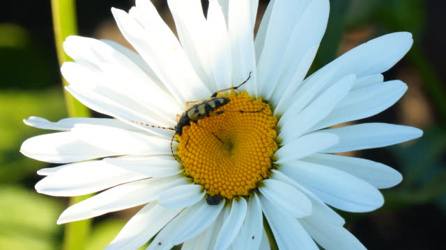 yellow striped beetle on white flower - жук стоковые видео и кадры b-roll