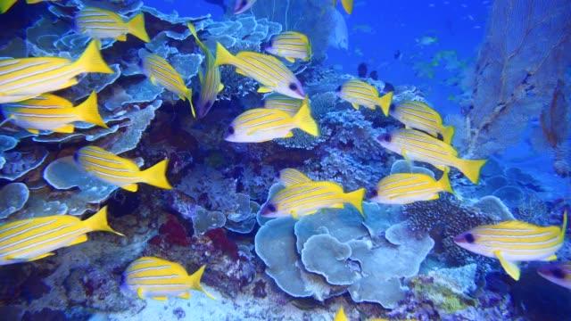 vídeos y material grabado en eventos de stock de pargos a rayas amarillas en maldivas - escafandra autónoma