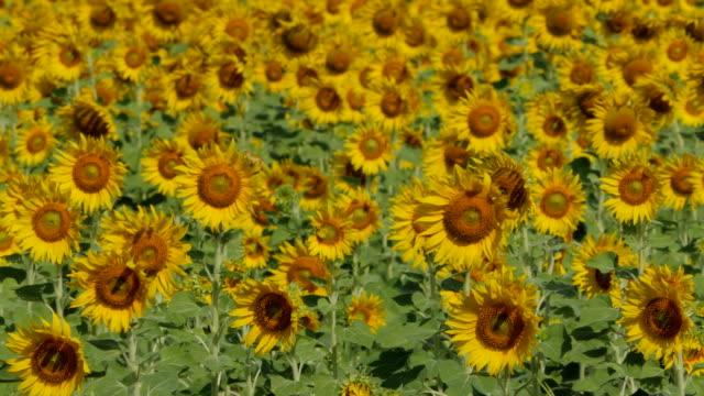 Yellow sunflowers growing in field. video