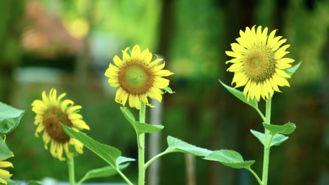 yellow sunflowers outdoor plantation footage asia - stame video stock e b–roll