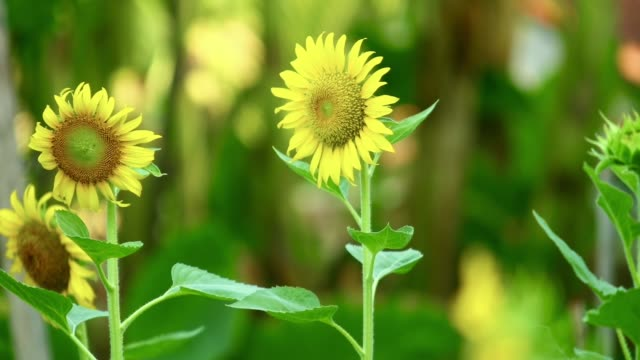 yellow sunflowers tropical outdoor plantation footage - stame video stock e b–roll