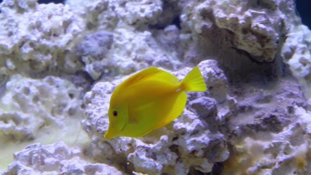 akvaryumda yüzen sarı tang balık, hawaii popüler tropikal specie - i̇htiyoloji stok videoları ve detay görüntü çekimi