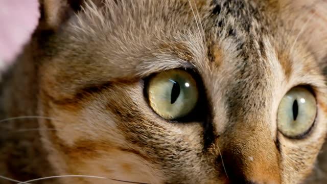vídeos y material grabado en eventos de stock de gato thai amarillo en tabla - vibrisas