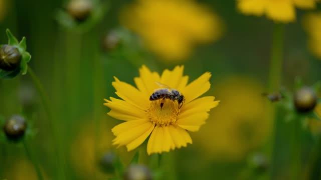 yellow tickseed flower. - coreopsis lanceolata video stock e b–roll