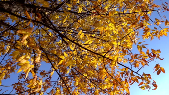 Yellow tree with withered leaves against blue sky, slow motion video