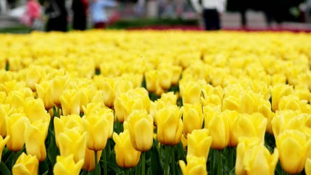 Yellow tulips blooming at beautiful park, many flowers on the flowerbed
