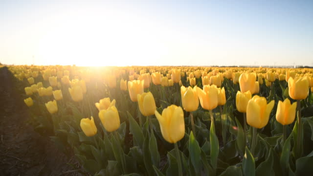 Yellow tulips in a field during a beautiful spring day in Holland. Yellow tulips in a field during a beautiful spring day in Holland. tulip stock videos & royalty-free footage