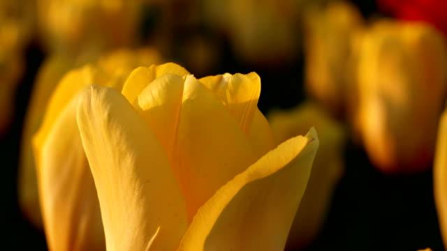 Yellow tulips. video