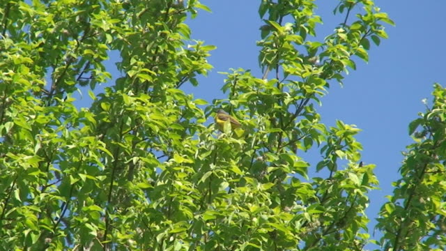Yellow Wagtail on Willow Tree Yellow Wagtail on Willow Tree branch plant part stock videos & royalty-free footage
