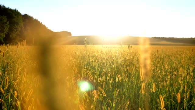 Yellow wheat field in daytime in summer, nature concept