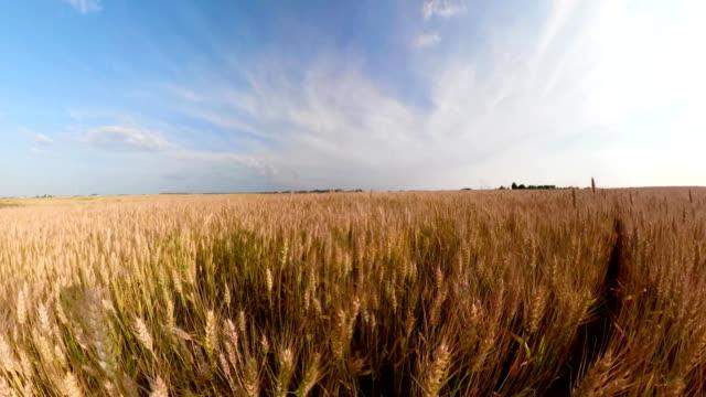 Yellow wheat field video
