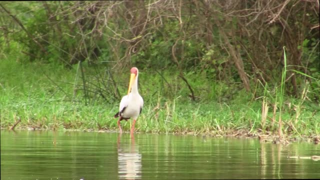 A Yellow-Billed Stork Wading in a River