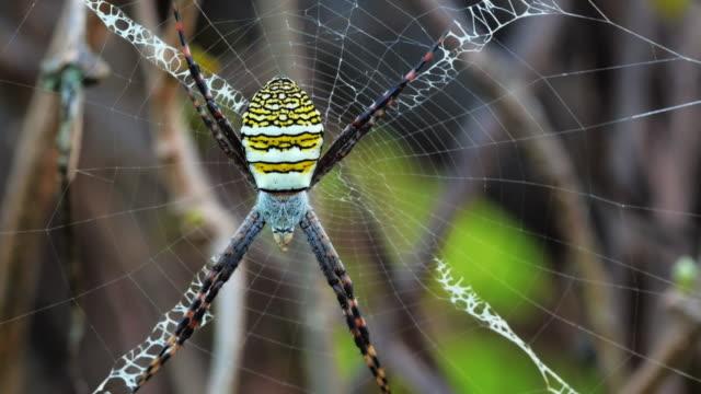 イエローにブラックのクモの巣たスパイダーウェブ-argiope bruennichi - 動物の身体各部点の映像素材/bロール