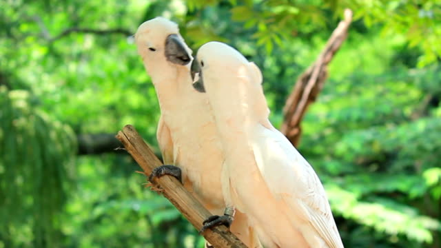kakadu żółtolica białe ptaki (cacatua sulphurea) nostalgiczne kiss - zachowanie zwierzęcia filmów i materiałów b-roll