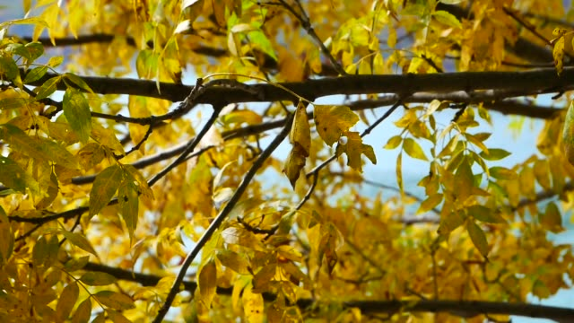 yellowed leaves on a tree in autumn yellowed leaves on a tree in autumn drenched stock videos & royalty-free footage