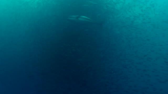 yellowfin tuna attacks baitball video