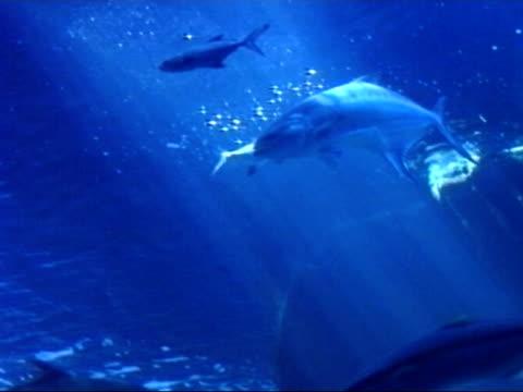 Yellowfin tuna fish video