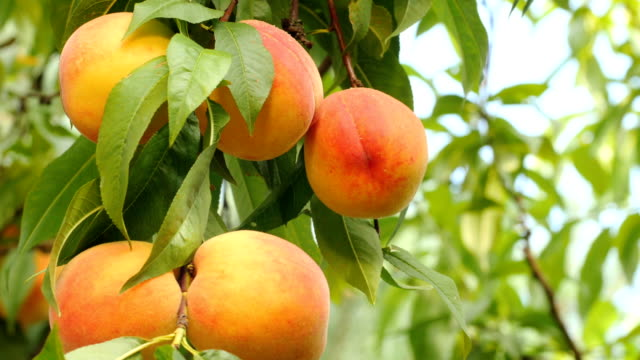 Yellow-orange peaches on branch with green leaves video