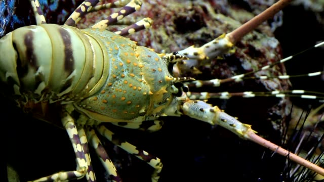 Yellow-ring Spiny Lobster video