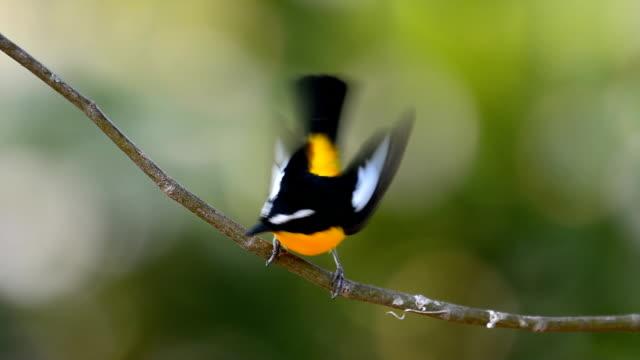 Yellow-rumped Schnäpper bird – Video