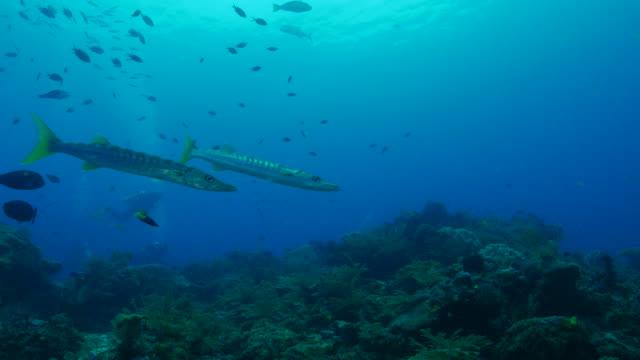 Yellowtail Barracuda, coral reef, undersea video
